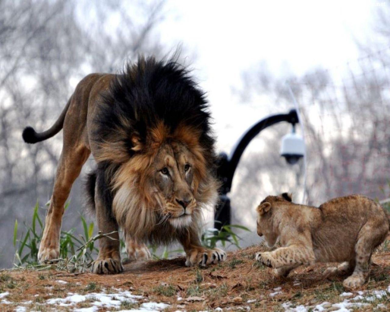 Lwy zabawa na kom 243 rk