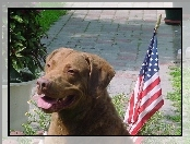 Chesapeake Bay retriever, flaga USA