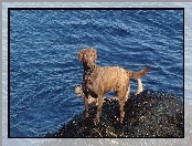Chesapeake Bay retriever, niebieska, woda