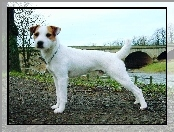 Parson Russell Terrier, most