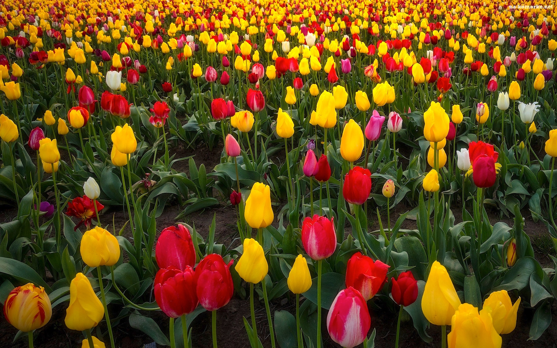 Tulipany, Wooden Shoe Tulip Farm, Farma, Stany Zjednoczone, Pole, Stan Oregon